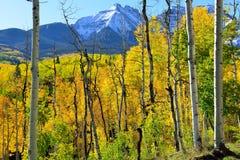 在山前面的黄色白杨木 免版税库存图片