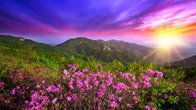 在山在日落, Hwangmaesan山的美丽的桃红色花在韩国 库存图片
