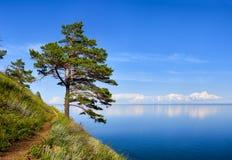 在山坡的一棵杉木在贝加尔湖水附近 库存照片