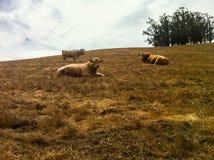 在山坡的三头母牛 图库摄影