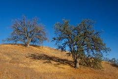 在山坡的两棵橡木 库存照片