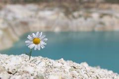 在山坡的孤独的春黄菊 库存照片