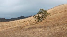 在山坡的孤立橡树与金黄草和山在贺尔 库存图片