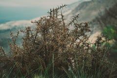 在山坡的孤立老刺灌木 免版税库存图片