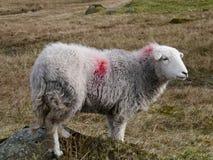 在山坡的孤零零绵羊 库存照片