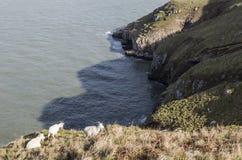 在山坡的山羊在兰迪德诺,北部威尔士,英国的伟大的Orme 免版税库存照片