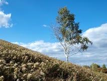 在山坡的桦树 库存照片