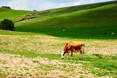 在山坡的母牛 免版税图库摄影