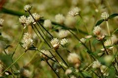 在山坡的白三叶草花 库存照片