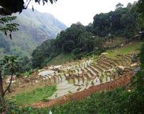 在山坡的米领域,斯里兰卡 免版税图库摄影