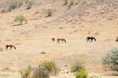 在山坡的马 免版税库存图片