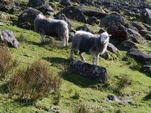 在山坡的绵羊 免版税库存照片