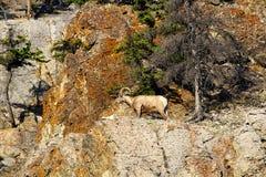 在山墙壁上的一只公大角野绵羊 免版税库存照片