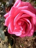 在山增长的罕见的桃红色玫瑰 库存图片