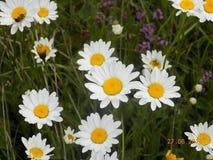 在山太阳的草掩藏的雏菊 免版税库存图片