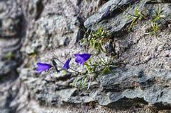 在山岩石中的风铃草 库存照片