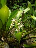 在山接近马丘比丘,秘鲁的兰花 库存照片