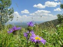 在山景前面的紫色花 库存照片