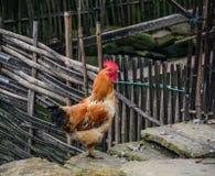 在山村的鸡在越南 免版税图库摄影