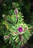 在山松的一朵紫色花 库存图片