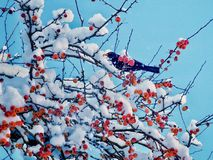 在山楂子树的黑鹂 图库摄影