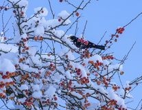 在山楂子树的黑鹂 免版税图库摄影