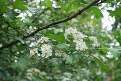 在山楂属monogyna leafage的小花在春天 免版税库存图片