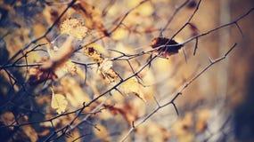 在山楂树分支的秋叶  免版税图库摄影