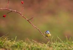 在山楂树厂的蓝冠山雀 免版税图库摄影