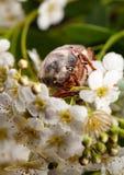 在山楂树开花的6月臭虫 库存照片