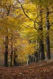 在山毛榉树之间黄色叶子的森林车道在秋天的 库存照片