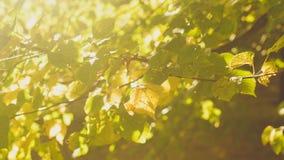在山毛榉树的叶子的阳光 免版税图库摄影