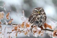 在山毛榉树的雅典娜小猫头鹰 图库摄影