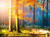 在山毛榉森林美好的温暖的风景的秋天与第一早晨太阳在有薄雾的秋季森林里发出光线 免版税库存照片