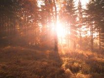 在山毛榉森林美好的温暖的风景的秋天与第一早晨太阳在有薄雾的秋季森林里发出光线 免版税库存图片