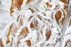 在山毛榉的被冰的雪留下特写镜头 库存图片