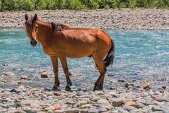 在山河岸的布朗马 图库摄影
