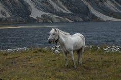 在山湖的岸的白马 免版税库存照片