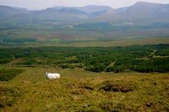 在山爱尔兰的绵羊 免版税库存照片