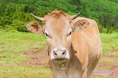 在山牧场地特写镜头的母牛 免版税库存照片