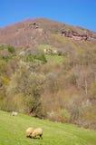 在山牧场地的两只吃草的绵羊和狗 库存图片