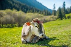 在山牧场地的冥想的母牛 母牛面孔画象 说谎在山草的母牛 山在背景中 免版税图库摄影