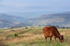 在山牧场地的母牛 秋天小山 免版税库存图片