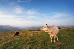 在山牧场地的母牛 秋天小山 免版税库存照片
