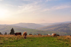 在山牧场地的母牛 秋天小山 图库摄影