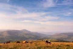 在山牧场地的母牛 秋天小山 库存图片
