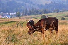 在山牧场地的母牛 秋天小山 库存照片