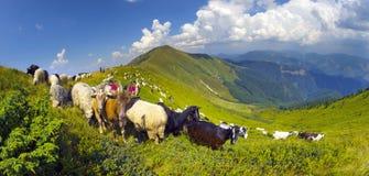 在山牧场地的绵羊 免版税库存图片
