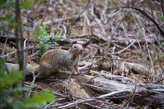 在山的一只小灰鼠 免版税库存图片