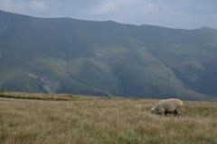 在山的一只绵羊,充分的画象 免版税库存图片